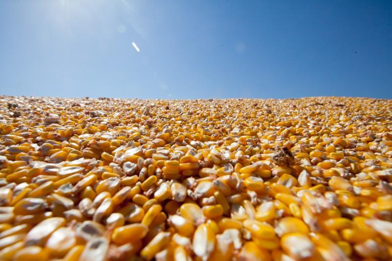 Segundo o levantamento, milho em grão passou de 0,15% para 11,41%