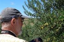 Plantio de oliveiras avança em municípios como Pinheiro Machado