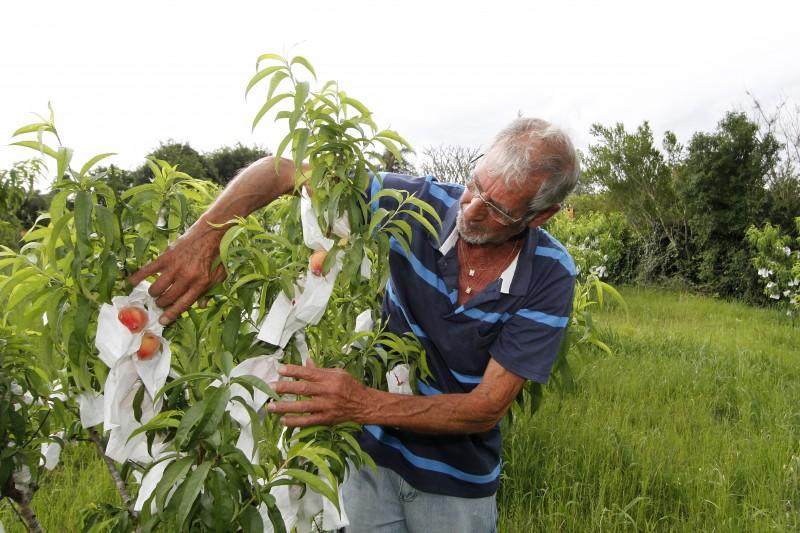 A abertura oficial da colheita do pêssego na propriedade dos irmãos Valdomiro e Luiz Antônio Silveira dos Santos.   Na foto: Valdomiro Silveira dos Santos ( Produtor rural  e proprietário )
