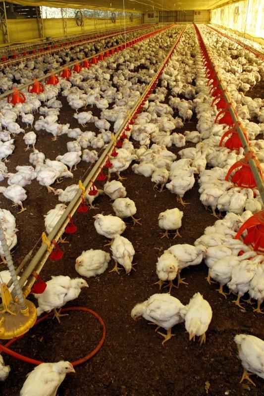 OMS recebeu denúncia de que há criadores que usam antibiótico
