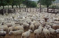 Maior rebanho está em Livramento, mais de 500 mil animais