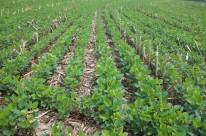 Área plantada com soja já alcança os 88% do total previsto no Estado