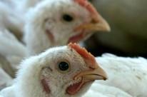 Foram abatidas 1,5 bilhão de aves