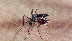 Mosquito Aedes aegypti, responsável pela transmissão dos vírus da dengue, febre chikungunya e Zika