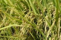 ICMS zero para o arroz em São Paulo criaria distorções com o Mercosul