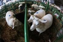 Começaram as feiras de ovinos de verão em todo o Estado