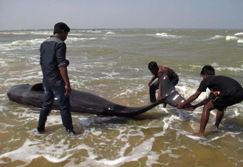 Moradores de Tiruchendur tentam devolver os cetáceos para o mar
