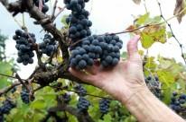 Emater estima uma queda de 50% na produção da viticultura gaúcha