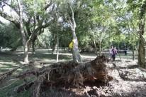 Depois da poda das copas, árvores são erguidas para se estabilizar