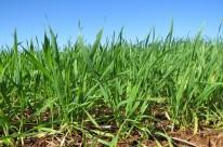 Dificuldades de preço, clima e crédito afetam a rentabilidade do cereal
