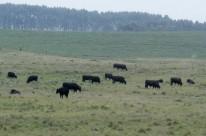 Solto no campo, isolado, o gado é presa fácil para ladrões no Interior