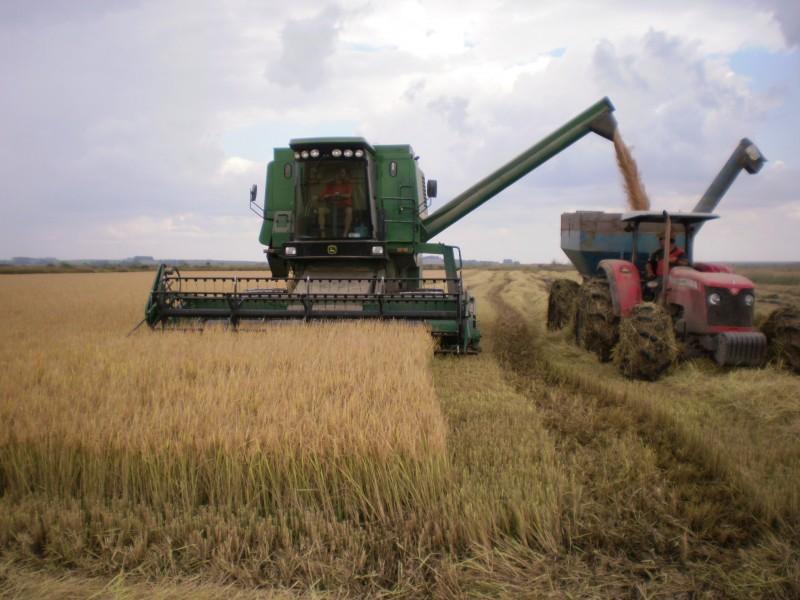 Arroz recupera perdas e registra maior crescimento entre as culturas