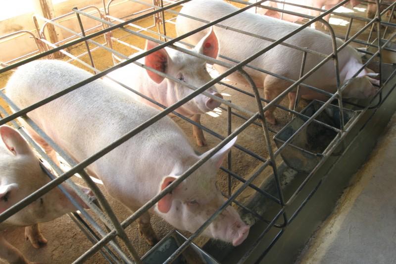 Grão é principal insumo na produção de suínos