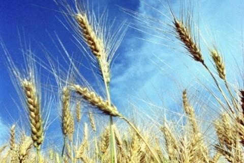 Em 2015, o Estado exportou 1,5 milhão de toneladas de milho