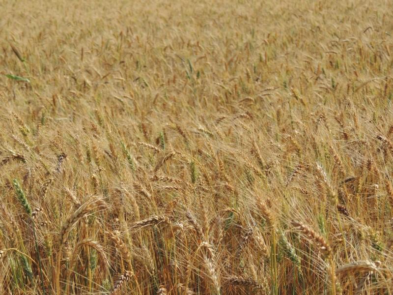 Primeiras estimativas apontam para uma produção gaúcha de 1,697 milhão de toneladas do cereal