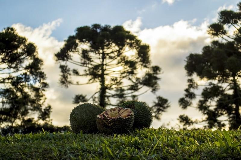 Estimativa é de que, neste ano, as araucárias gaúchas gerem uma produção de 600 a 800 toneladas