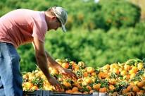 Carência de chuva também afetou produção de citros