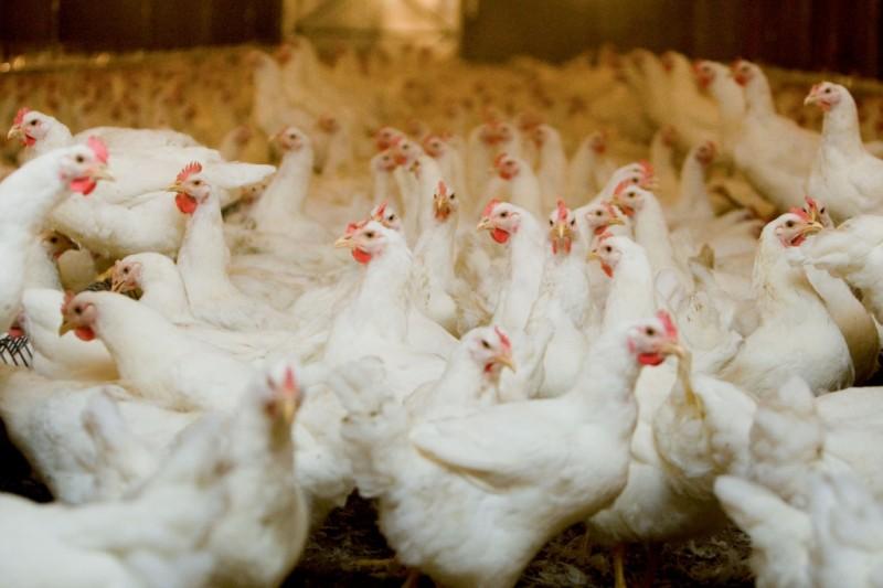 Em média, o grão representa 70% do custo da ração das aves, e a redução ajudaria na rentabilidade da cadeia