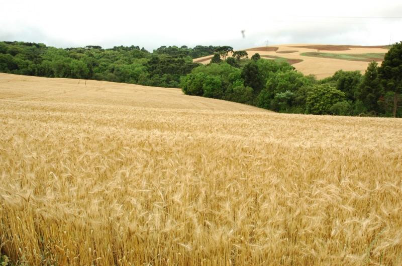Lavoura de trigo deve registrar elevação de 43,3% em volume