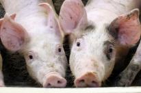 Estado mantém estabilidade no preço pago pelo quilo do suíno vivo