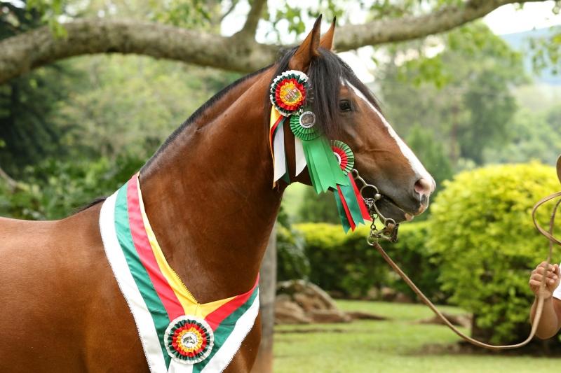 cavalo crioulo Invocado da Matarazzo1 - divulgação Estância da Figueira