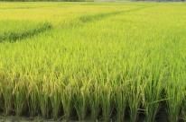 Safra de arroz 2017/2018 deve plantar 1,078 milhão de hectares no RS