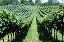 Granizo reduzirá a safra de uva em 2019