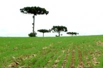 Clima seco e temperaturas altas reduzem área cultivada de trigo