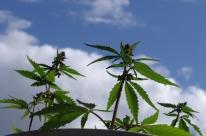 Paciente gaúcho conquista na Justiça direito de cultivar cannabis para tratamento de doença degenerativa