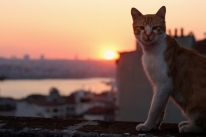 Gatos de Istambul