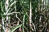 Cana-de-açúcar enfrenta dificuldades no Estado