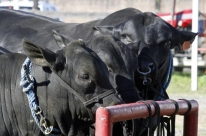Justiça libera exportações de animais vivos