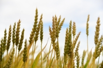 Safra ruim do trigo preocupa produtores gaúchos