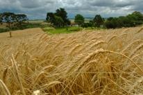 Desestímulo deve reduzir área plantada com trigo no Rio Grande do Sul