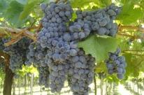 Setor vitivinícola ainda enfrenta desafios no País