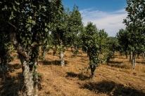 Projeto visa conservar genética de árvores que produzem erva-mate