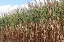Colheita do milho acelera no Estado, aponta Emater