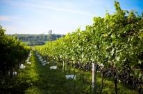 Após recorde, safra da uva deverá ficar dentro da média