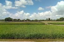 Com preços baixos e custos altos, produtores abandonam arroz