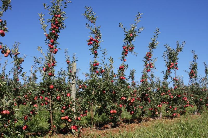 Com 14,5 mil hectares de pomares cultivados, Estado responde por cerca de 45% da produção nacional