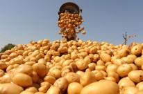 Preço baixo preocupa produtores de batata