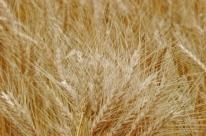 Colheita do trigo se inicia no Rio Grande do Sul com preocupações sobre qualidade do grão