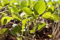 Brasil registrará recorde na produção de café e de soja em 2018, diz IBGE