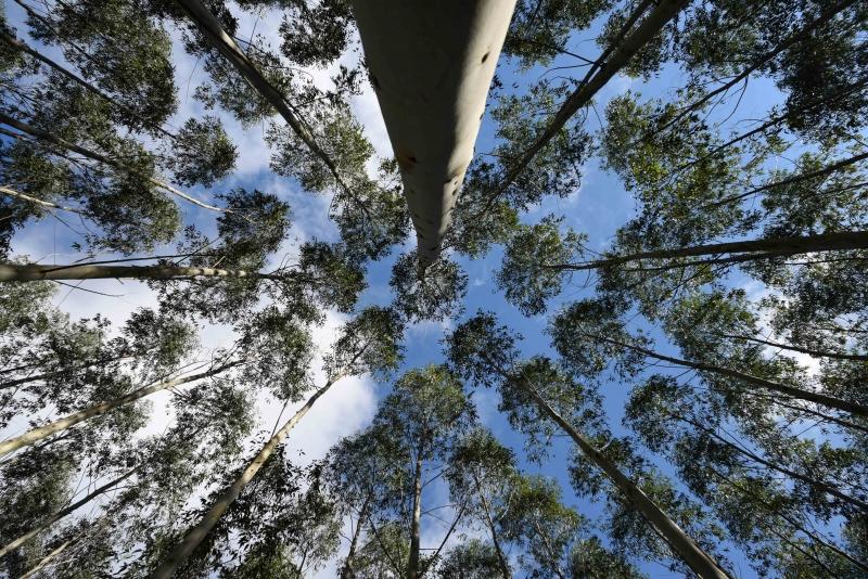 floresta_de_eucaliptos___silvicultura___madeira___celulose___credito_fernando_dias___seapi-8364162.jpg