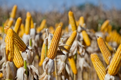 Gaúchos já colheram mais de 40% da área de milho