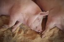 Exportações de carne suína acumulam alta de 40,4% em 2020