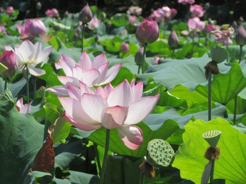 Flor de Lótus é presença constante na mesa dos chinês como alimento
