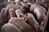 Abate de suínos cresce 3,4% e fecha 2018 com recorde