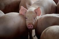 Valor pago pelo quilo do suíno vivo é de R$ 3,83 no Rio Grande do Sul