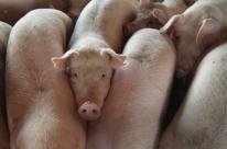 Exportações de carnede frango e suína caem